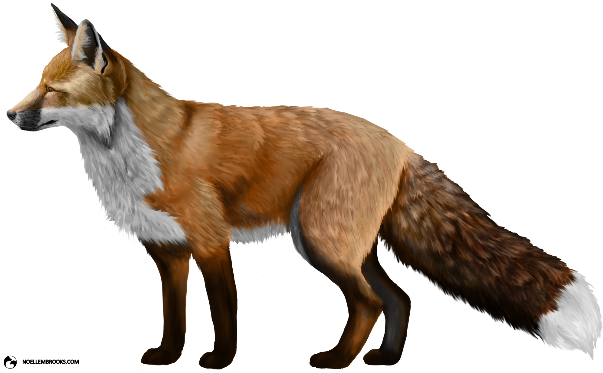 Red fox png. Transparent free images only