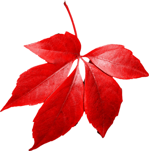 Red leaf png. Autumn free images toppng