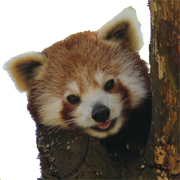 Red panda png. File cropped on a