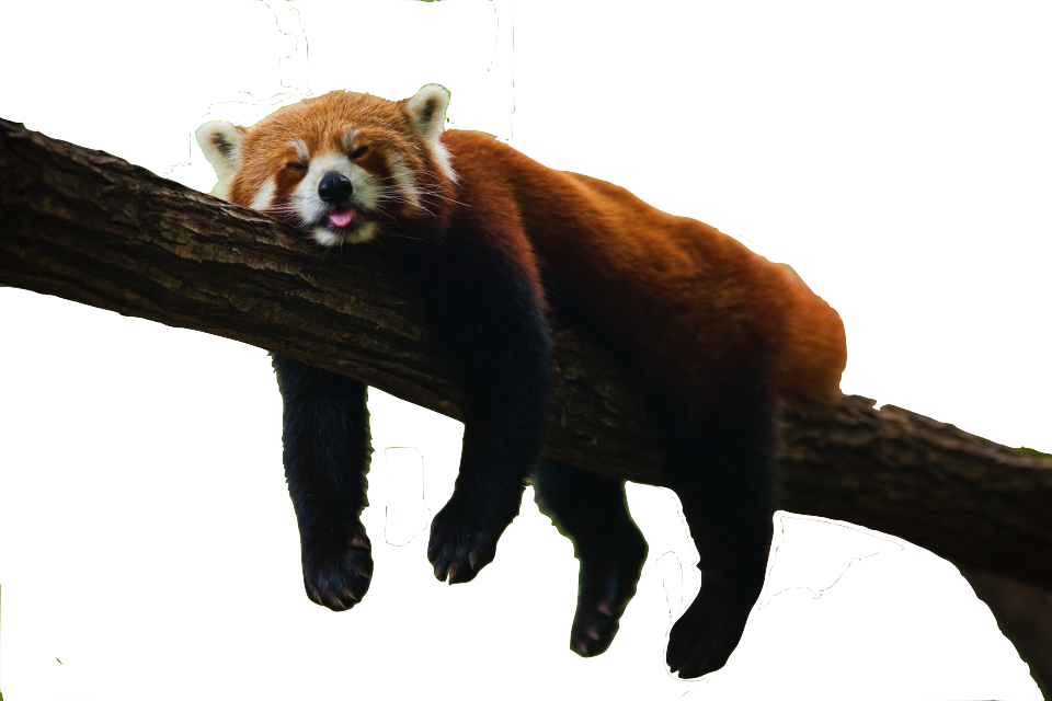 Red panda png. Save text images music
