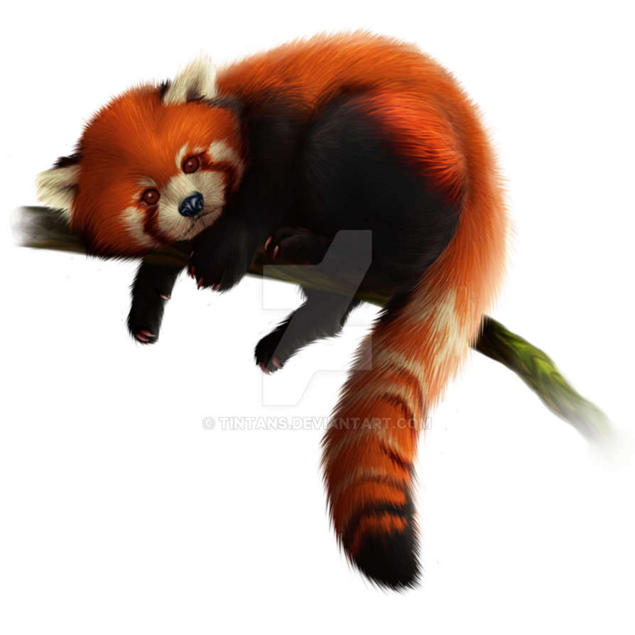 Red panda png. Download free hq image