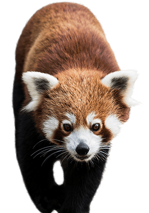 Red panda png. Side image national zoo