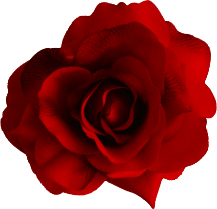 Red roses png. Rose transparent pictures free