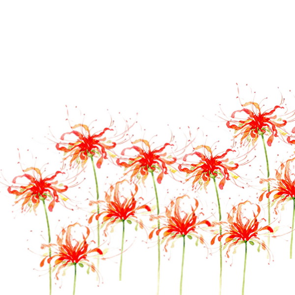 Red spider lily png. Flower download bana open