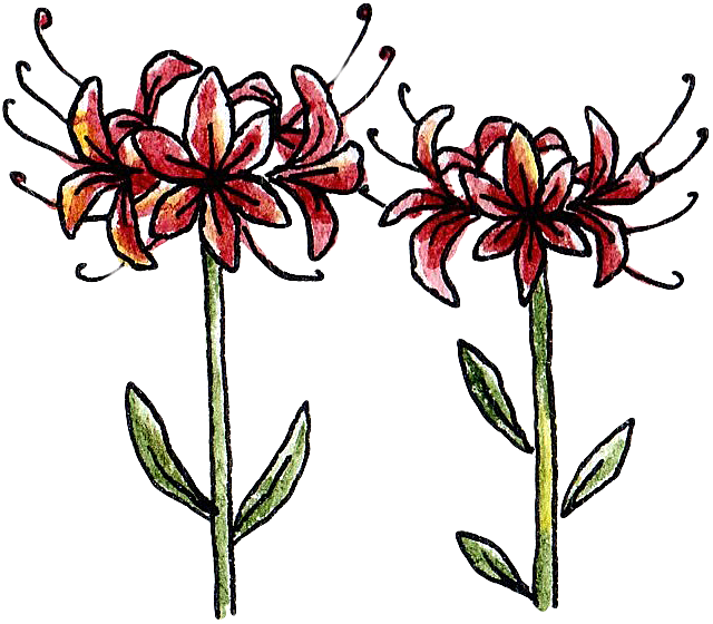 Red spider lily png. Plant clip art transprent