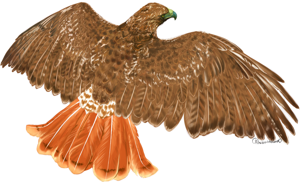 Red tailed hawk png. By mischievousraven on deviantart