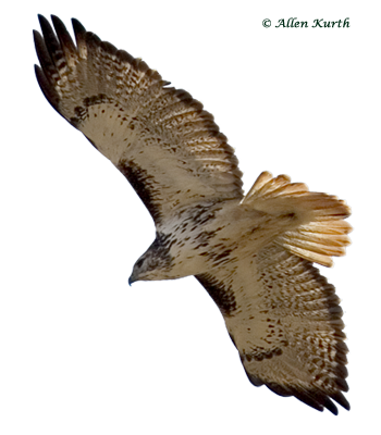Red tailed hawk png. Hitchcock hawkwatch redtailed by