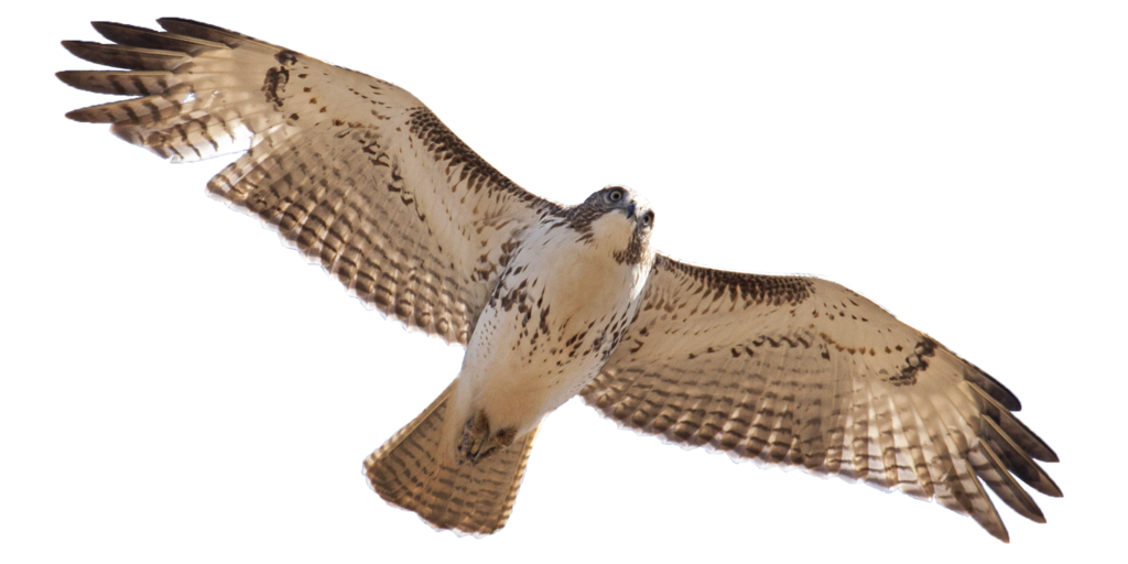 Red tailed hawk png. Cutout by edgedfeather on
