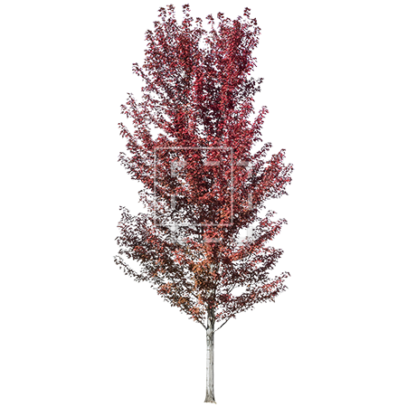 Red tree png. With fall leaves parent