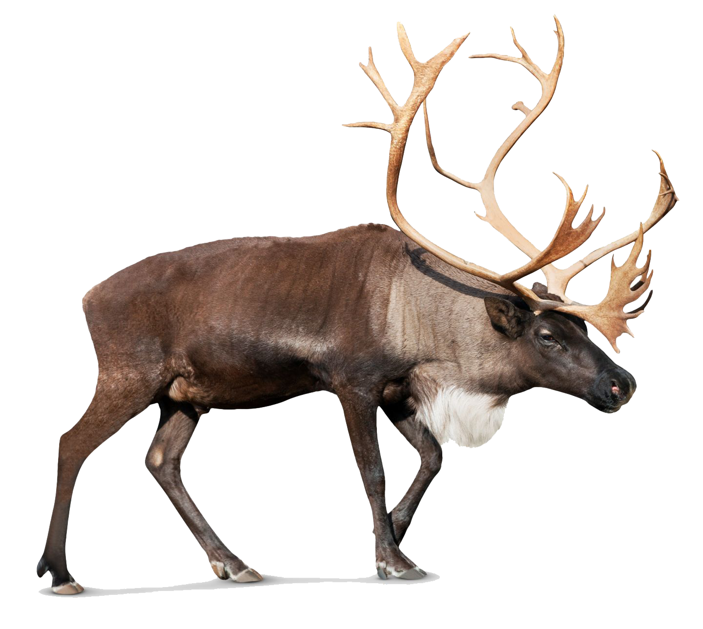 Reindeer antlers transparent png. Images pluspng photos