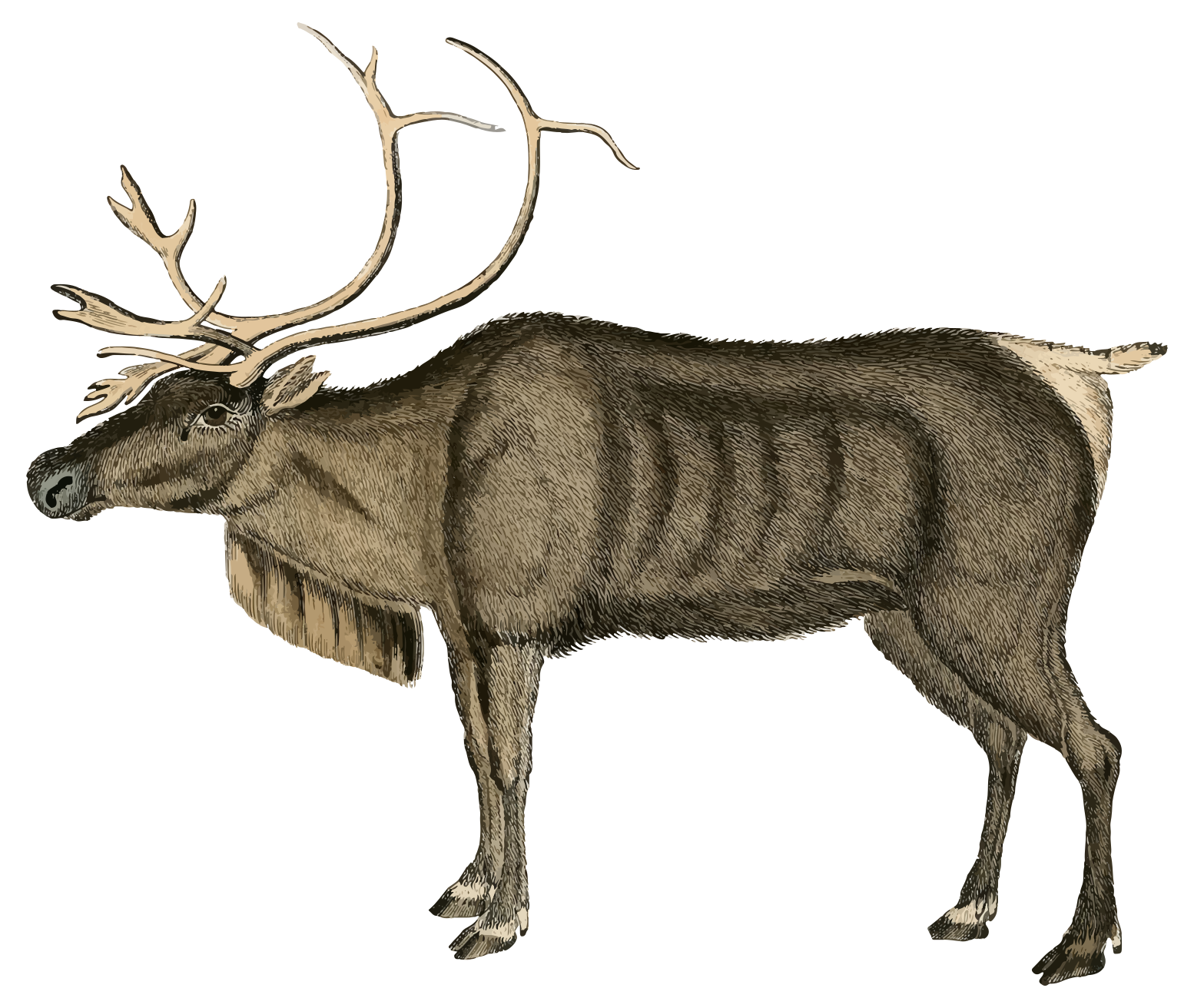 Reindeer clipart. Furry with horns