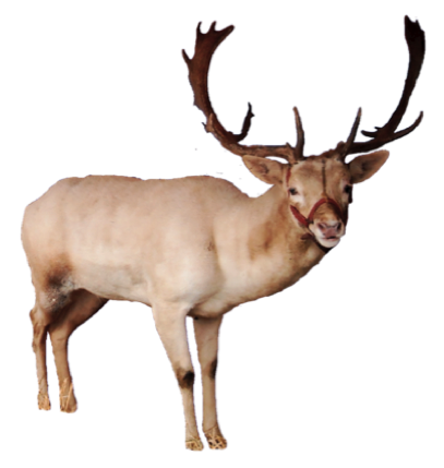 Reindeer png. Transparent images all pic