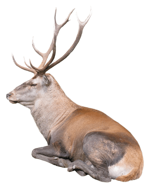 Reindeer png. Free images toppng transparent