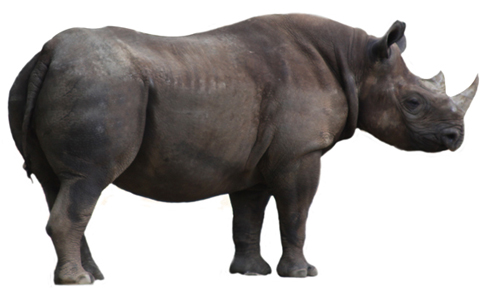 Rhino clipart real. Pencil and in color