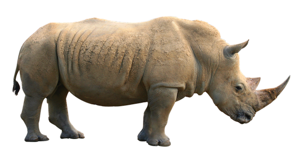 Rhinoceros facts and information. Rhinos drawing safari animal picture black and white library