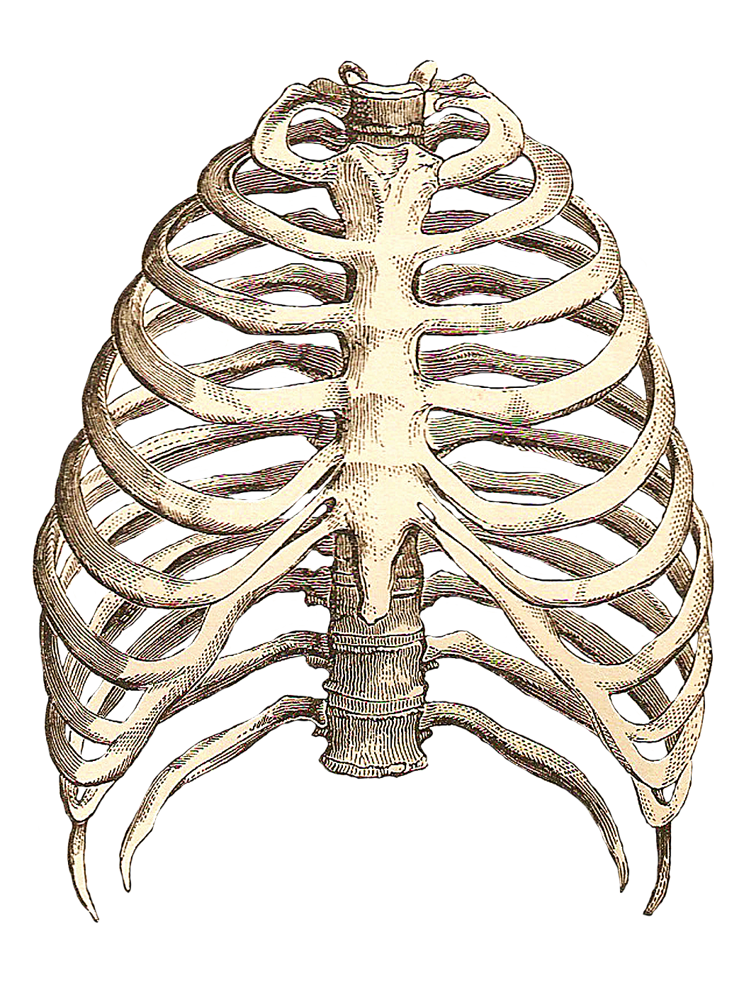 Rib cage png. Drawing inspiration pinterest anatomy