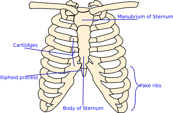Xray drawing simple. Labelled rib cage clip