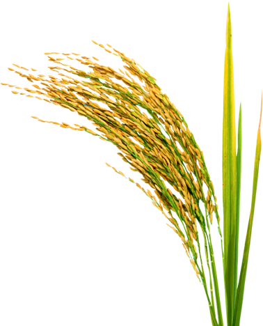 Rice crop png. Transparent images pluspng some