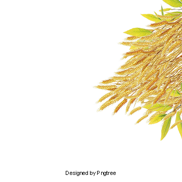 Farmland vector paddy farm. Rice clipart images png