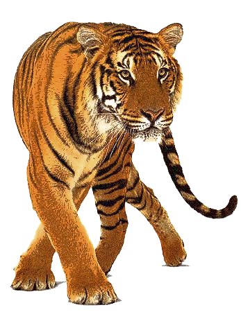 Roaring tiger png. By lg design on
