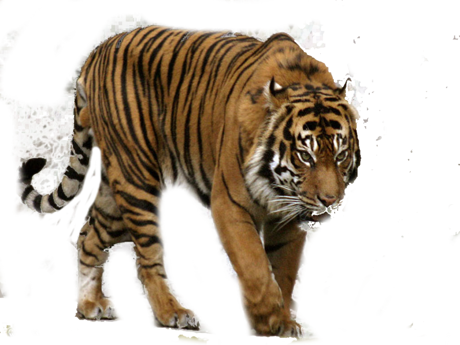 Roaring tiger png. Transparent pictures free icons