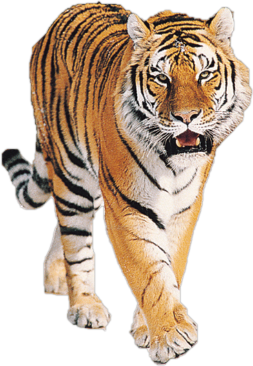 Roaring tiger png. Transparent stickpng animals tigers