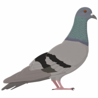 Rock dove. Transparent png download vippng