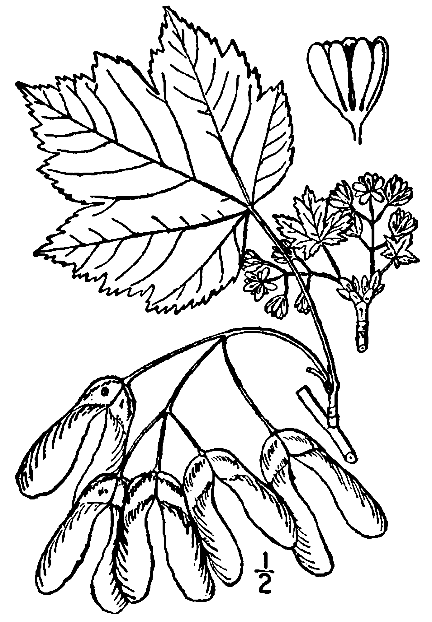File acer glabrum png. Rocky drawing original royalty free download