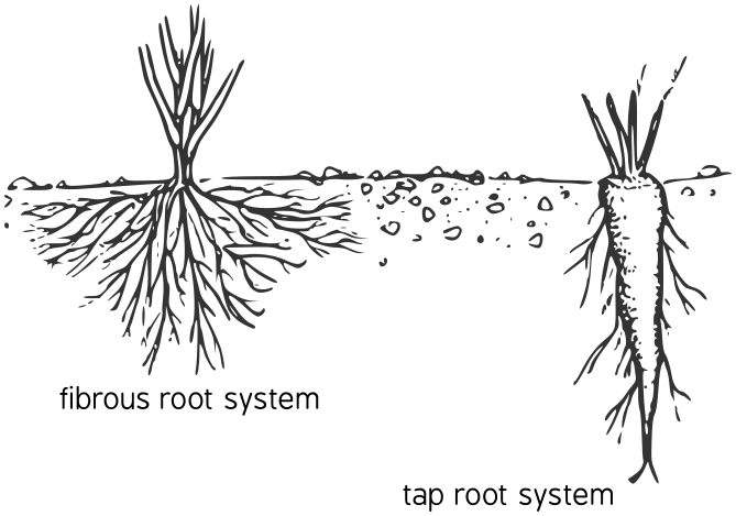 Roots clipart root texas. Black and white best