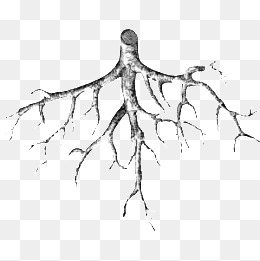 Roots clipart rooted tree. Png vectors psd and