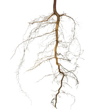 Roots png. Family therapy therapeutic practice