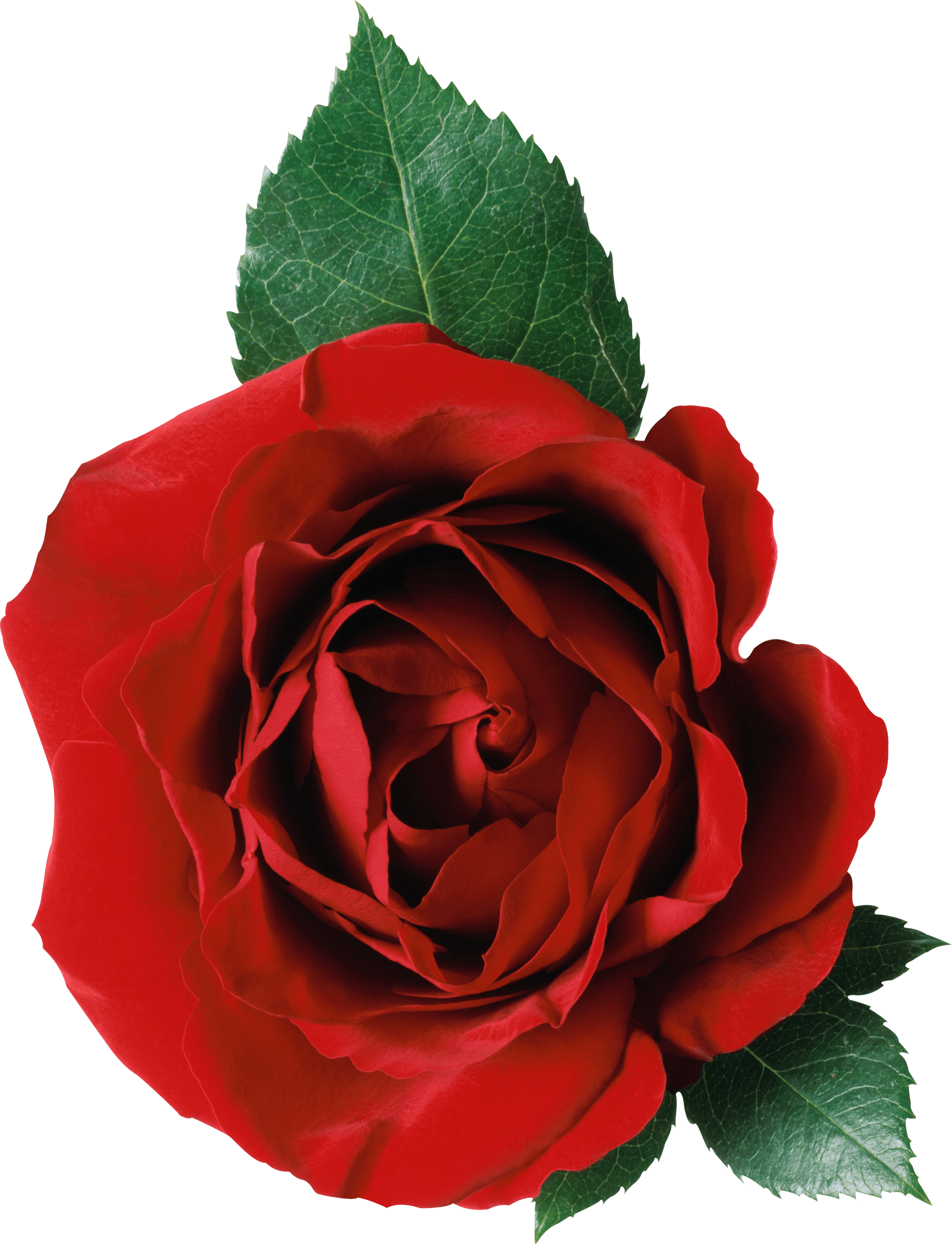 Rose transparent png. Images stickpng one and