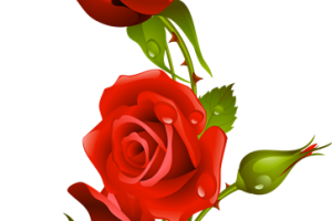 Rosas rojas png para photoshop. Image related wallpapers