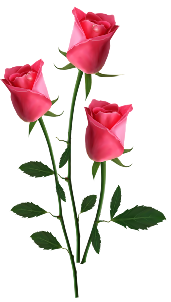 Rosas vector flores. Beautiful transparent pink roses