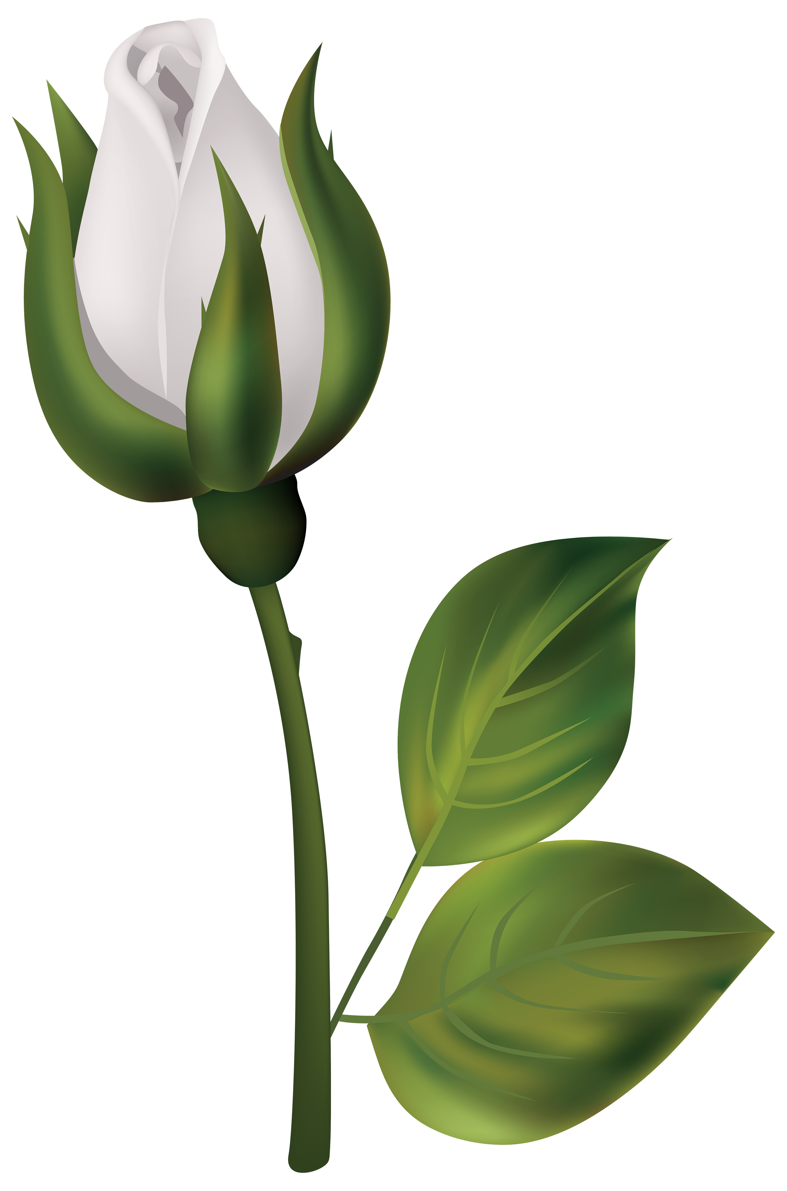 Bud drawing long stem rose. White png clipart best