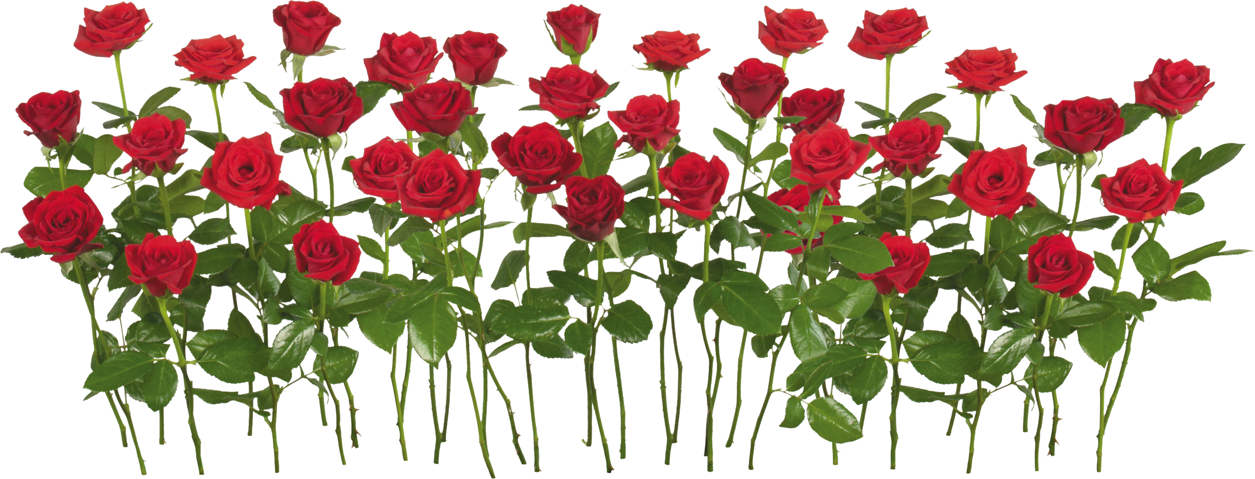 Flower plant png. Rose images free download
