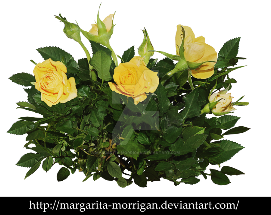 Margarita transparent rose. Yellow bush by morrigan