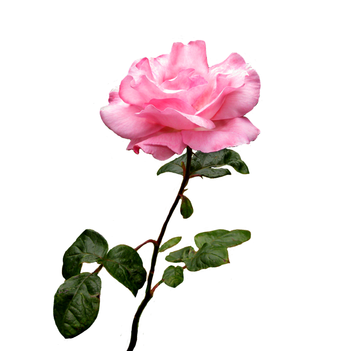 Rose Clear Background Transparent Png Clipart Free Download Ya