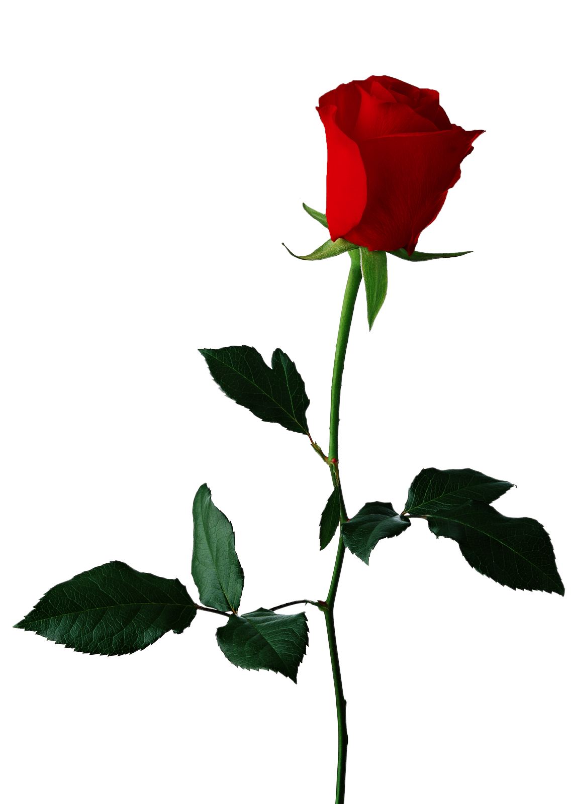 Rose clipart clear background. Transparent check all