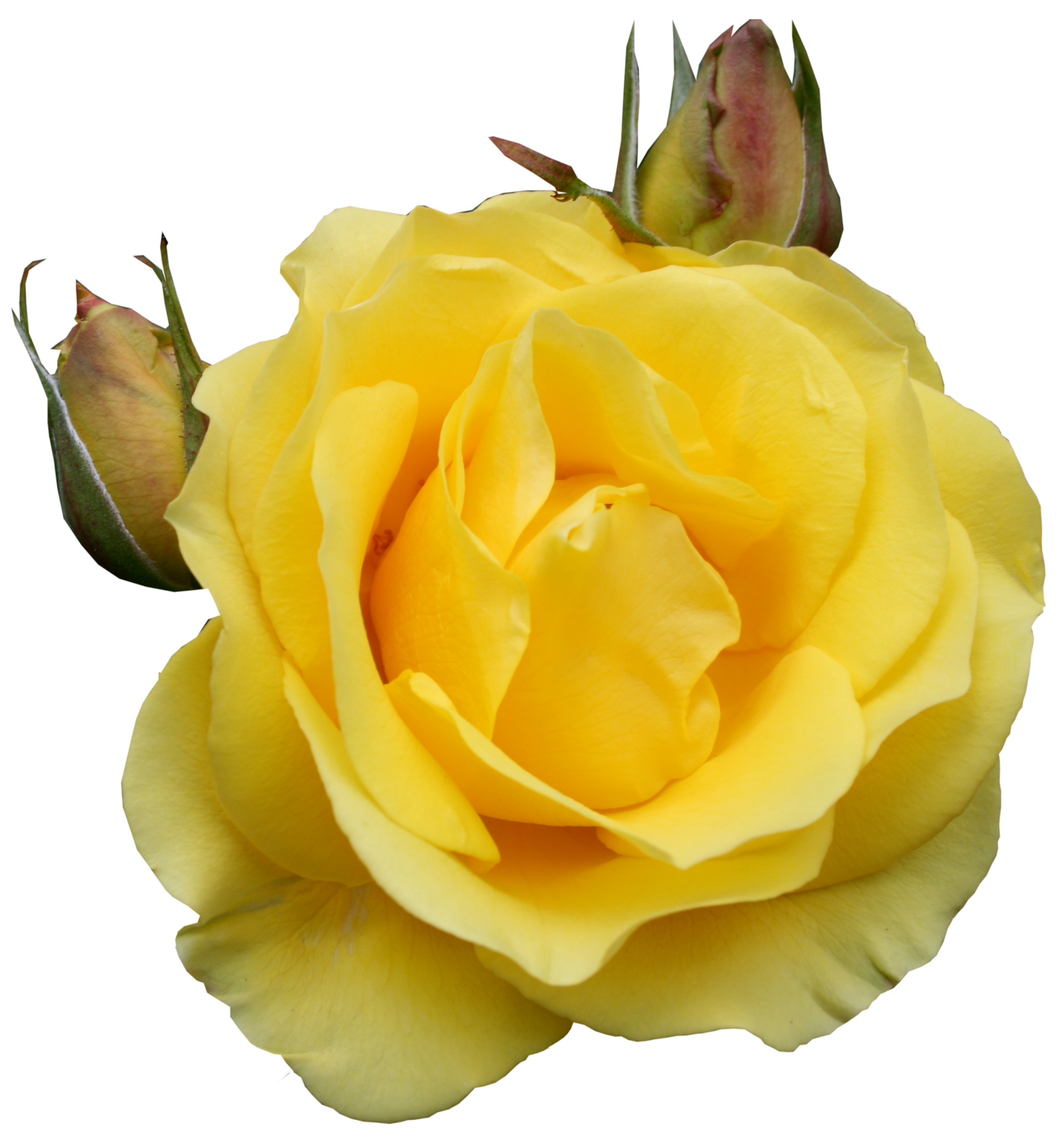 Rose clipart yellow rose. Png gallery yopriceville high
