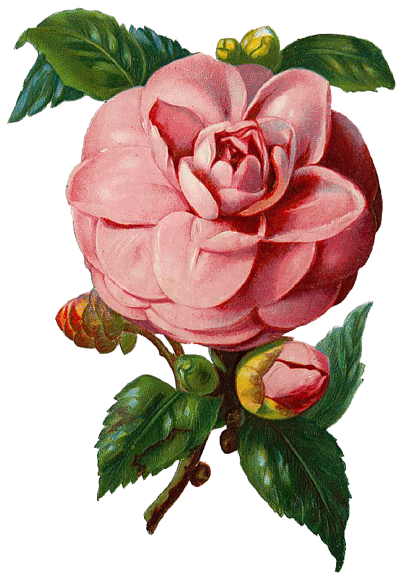 Pink roses vintage png. Free rose graphic and