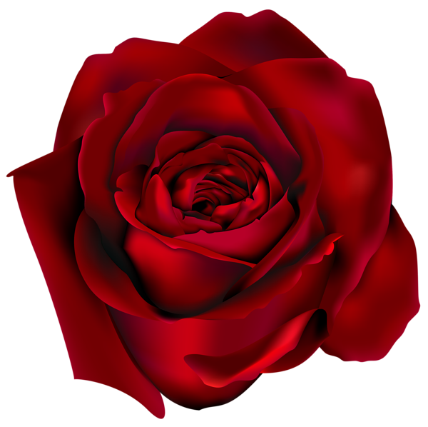 Rose drawing png. Transparent red clipart picture