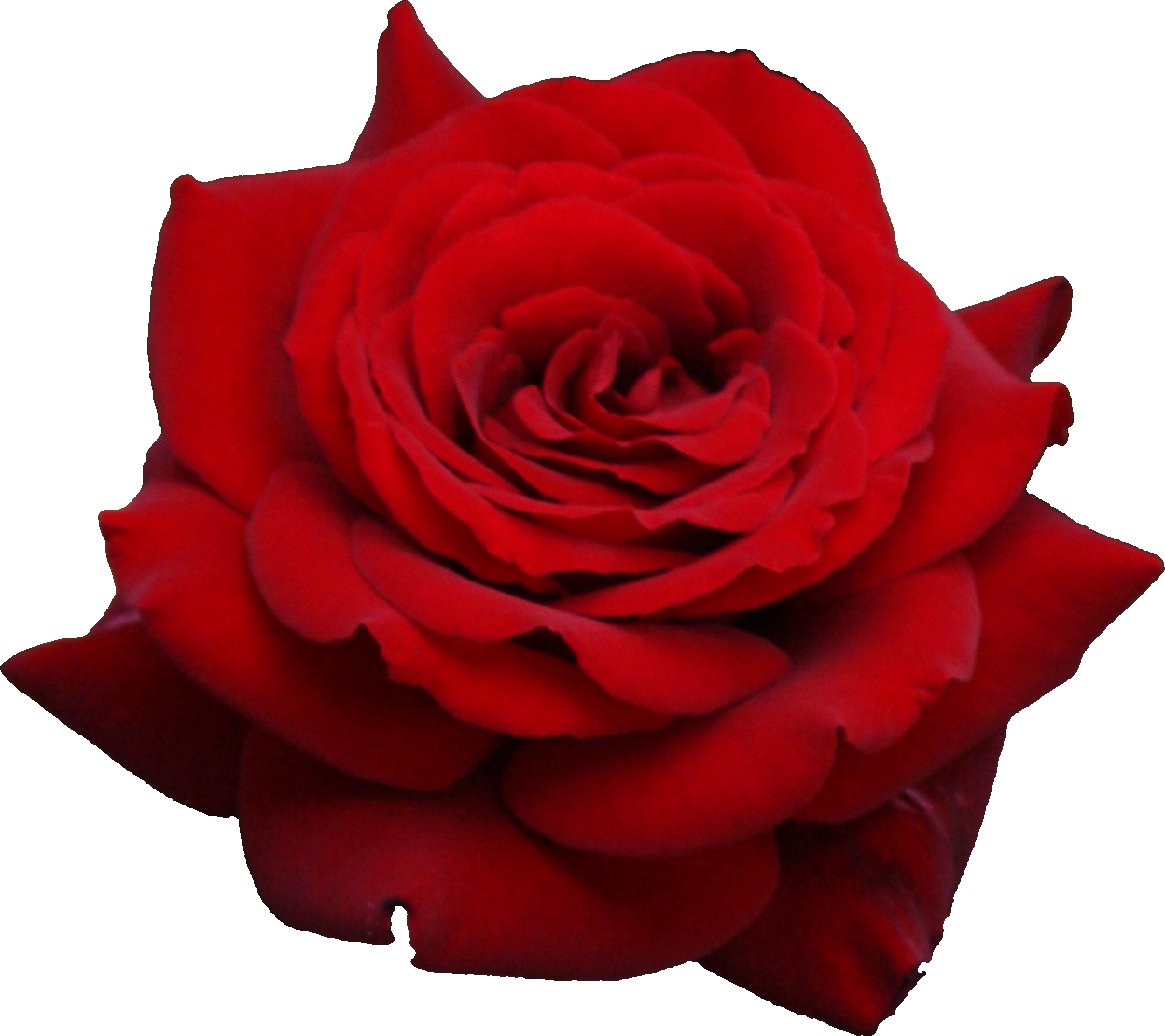 Rose png. Flower images free download