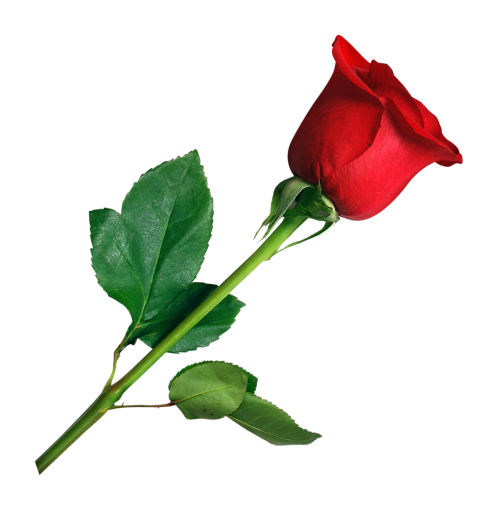 Rose flower png. Transparent image pngpix