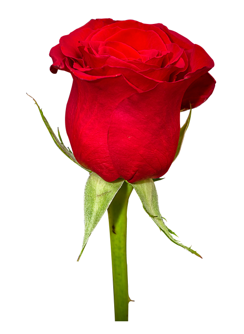 Rose flower png. Image pngpix download