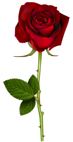 Rose flower png. Red transparent image i