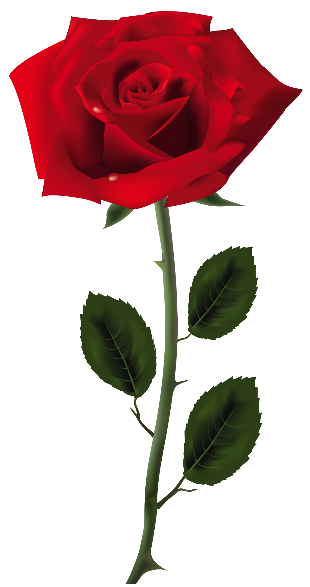 Rose flower png images. Red art picture colors