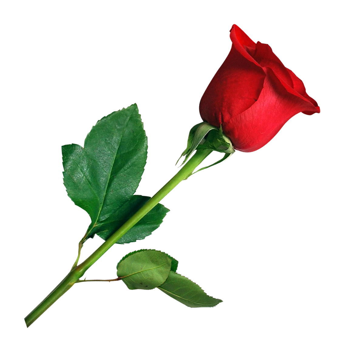 Flower .png png. Rose image pngpix transparent