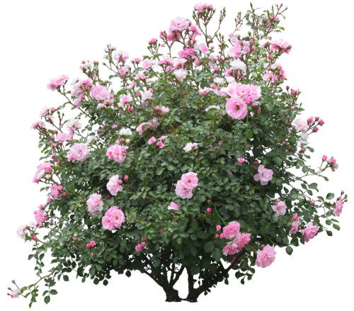 Rose hedge png. Tubes arbres arbustes feuillages