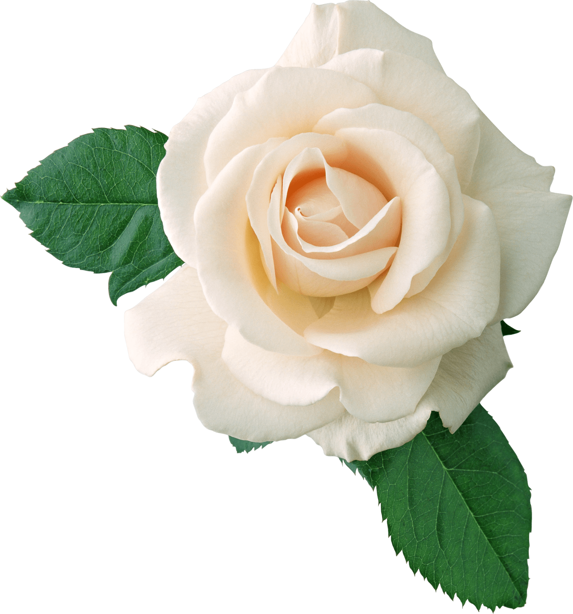 White roses png. Rose on leaves transparent